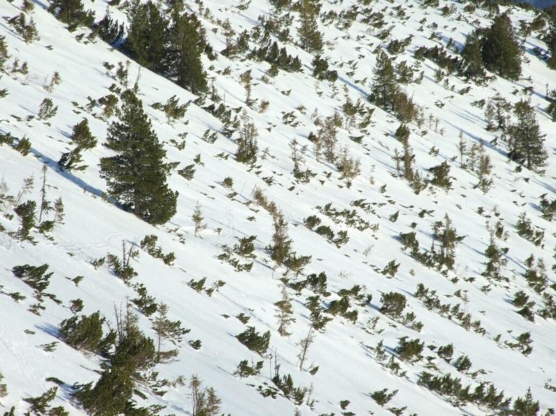A törpefenyők között helyenként 1 méternél is mélyebb a hó (Kovács Zoltán felvétele)