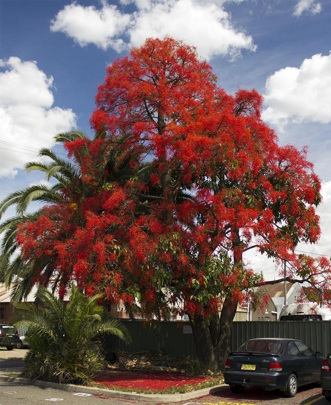 Juharlevelű lángfa